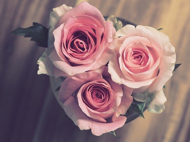 Pink_Anniversary_Roses